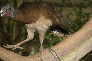 Chachalaca: The Loudest Bird In The Forest