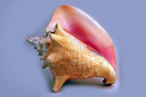Further Protection Needed for Queen Conch and Starfish