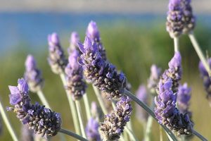 Fall In Love With Lavender