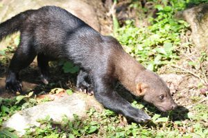 Mr. Tayra: The Old Man of The Mountain