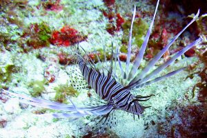 Unwanted Beauty: Lionfish
