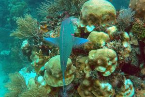 A Shift From Coral Reefs to Macroalgae Reefs