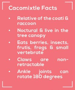 cacomixtle