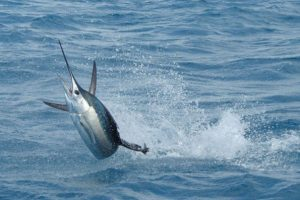 Fastest Fish Visiting the Mexican Caribbean