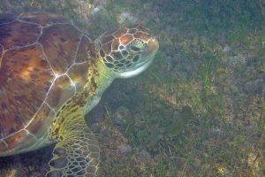 Gentle Reptiles: Sea Turtles