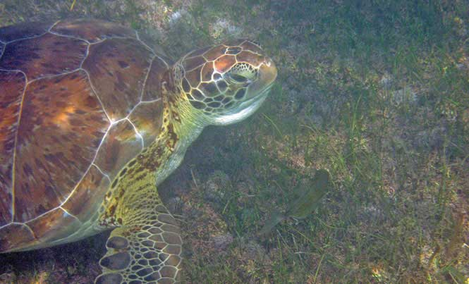 Green turtles are one of the six species you can find in the Caribbean / Photo: Florencia Cerutti